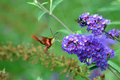 Curious encounter a hummingbird moth hovering on a cluster of purple butterfly bush flowers with a black and yellow bumble bee Royalty Free Stock Photography