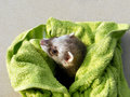 Curious ferret Royalty Free Stock Photography