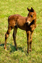 Curious Foal Royalty Free Stock Photo