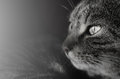 Curious gaze of cat a shot a with the whole image is desaturated excapt the eyes Royalty Free Stock Image