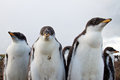 Curious gentoo penguin chicks falkland islands Stock Images