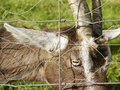 Curious Goat looking through fence. Stock Image