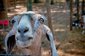 Curious goat a staring over it s pin fencing at the camera Royalty Free Stock Photos