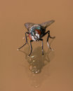 Curious And Gorgeous House Fly on Glass Reflection Royalty Free Stock Photo