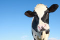 Curious holstein cow Stock Photos
