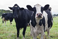 Curious Holstein cows Royalty Free Stock Photography