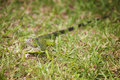 Curious iguana in the grass green carribean well camoflauged Royalty Free Stock Photography