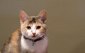 Curious kitten a calico looks with curiosity into the camera lens Stock Photos