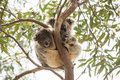 Curious koala baby with sleepy mummy, Kangaroo Island, Australia Royalty Free Stock Photo