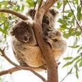 Curious Koala Baby With Sleepy...