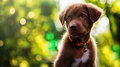 Curious labrador retriever with bokeh Royalty Free Stock Photo