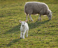 Curious Lamb (Ovus aries) Stock Photography