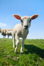Curious lamb in spring Royalty Free Stock Images