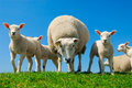Curious lambs in spring Royalty Free Stock Photography