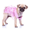 Curious little puppy dog princess Royalty Free Stock Images