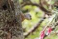Curious lizard (reptile) peeking from tree Royalty Free Stock Photo