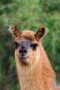Curious llama looking at the camera portrait of a towards Royalty Free Stock Image