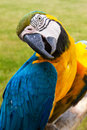 Curious macaw relaxing in wildlife Stock Photography