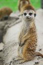 Curious meercat standing on the dry tree trunk and looking towards photographer Stock Photo