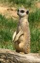 Curious meerkat Royalty Free Stock Photo