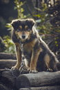 Curious miserable dog chained on a pile of wood in the backyard Royalty Free Stock Photos