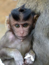 Curious monkey baby looking at me next to its mother s belly Royalty Free Stock Image