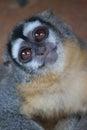 Curious monkey in the peruvian amazon Stock Photo