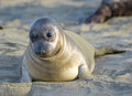 Curious new born elephant seal pup infant baby looking at camera with wide eyes big sur california Royalty Free Stock Photography