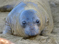 Curious new born elephant seal pup infant baby looking at camera with wide eyes big sur california Stock Photos