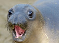Curious new born elephant seal pup infant baby looking at camera with wide eyes big sur california Stock Images