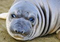 Curious new born elephant seal pup infant baby looking at camera with wide eyes big sur california Stock Photo