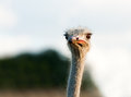 Curious ostrich closeup Stock Photos