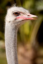 Curious ostrich outdoors Stock Photo