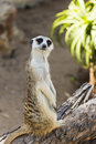Curious posing meerkat on a log meeerkat Stock Photos