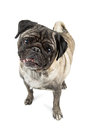 Curious Pug Dog Looking Into Camera Royalty Free Stock Photo