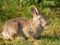 A curious rabbit Royalty Free Stock Photo