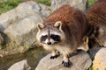 Curious Raccoon / Procyon lotor sitting on a rock Royalty Free Stock Photo