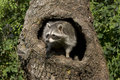 Curious Racoon Royalty Free Stock Images