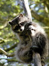 Curious racoon on a tree Royalty Free Stock Photo