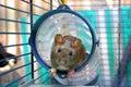 Curious rat Stock Image