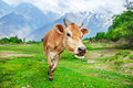 Curious red cow walking along the mountains valley Stock Photography