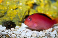 Curious Red Fish Royalty Free Stock Images