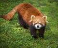 Curious red panda Royalty Free Stock Photo