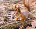 Curious red squirrel on log in park sciurus vulgaris a early spring Royalty Free Stock Images