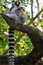 Curious Ring-Tailed Lemur Royalty Free Stock Photo