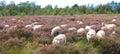 Curious sheep Royalty Free Stock Photo