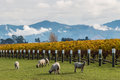 Curious sheep grazing in autumn vineyard Royalty Free Stock Photo