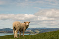 Curious sheep looking back Royalty Free Stock Photo