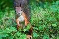 Curious squirrel. Royalty Free Stock Photos