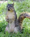 Curious squirrel standing on hind legs Stock Photos